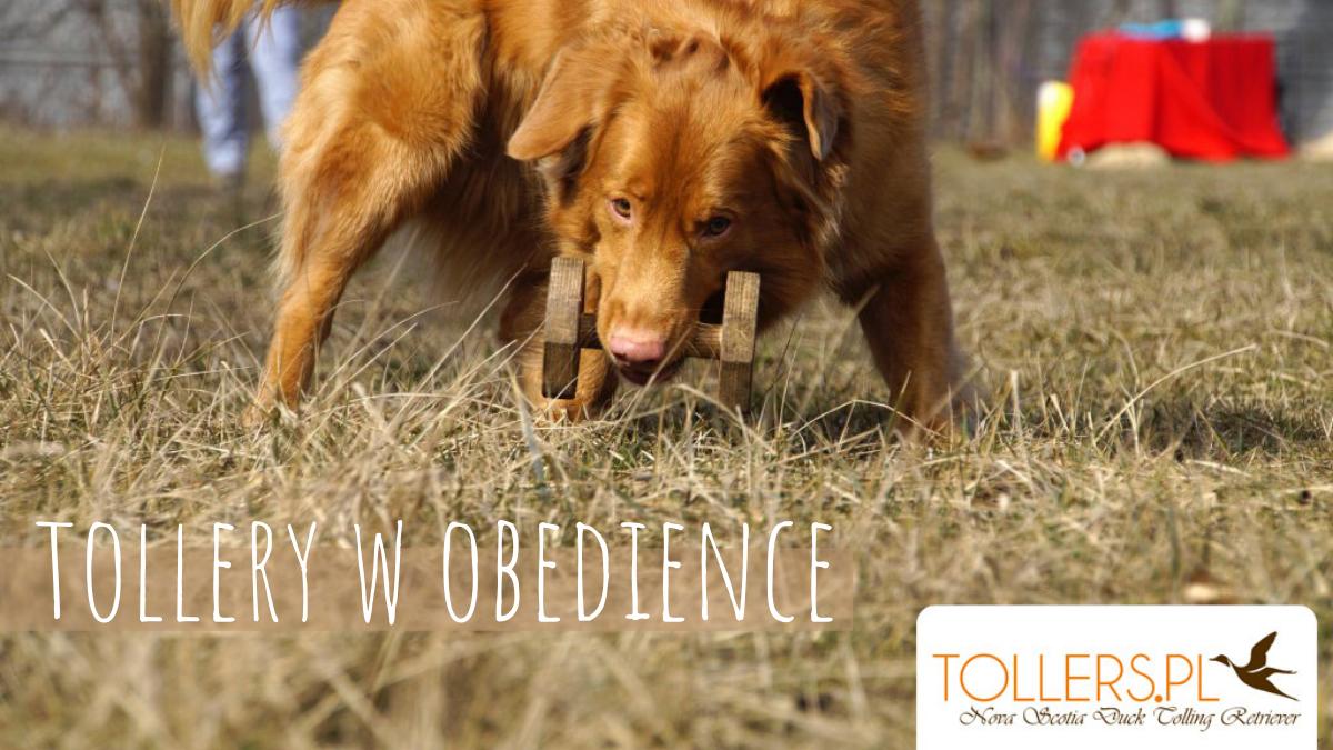 Trening obedience z Tollerami