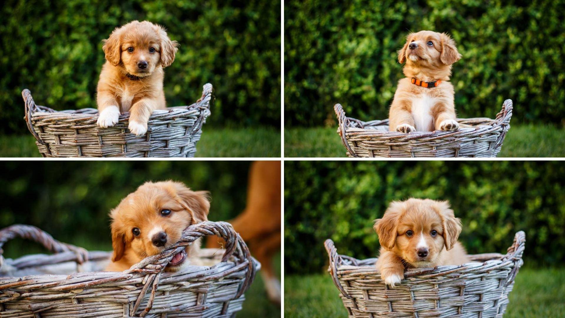 Toller puppies z Jesenické smečky kennel