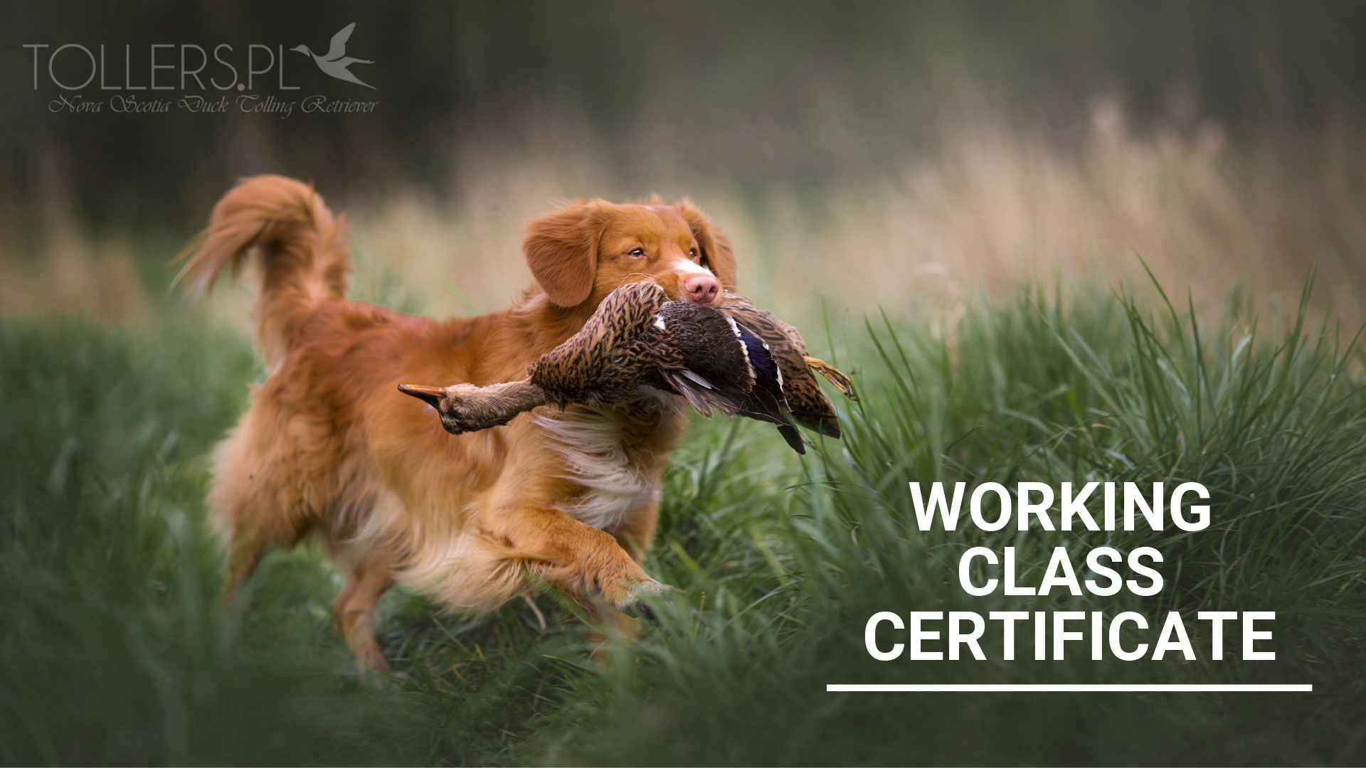 Toller with Working Class Certificate