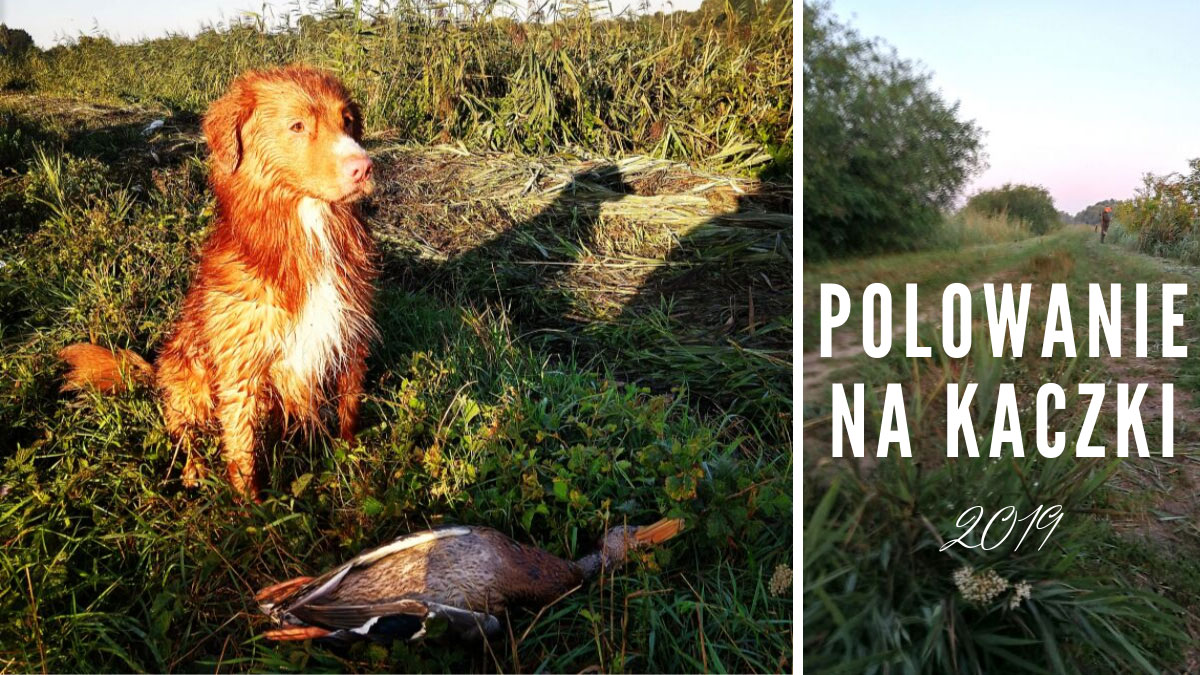 Polowanie na kaczki z psem rasy Nova Scotia Duck Tolling Retriever