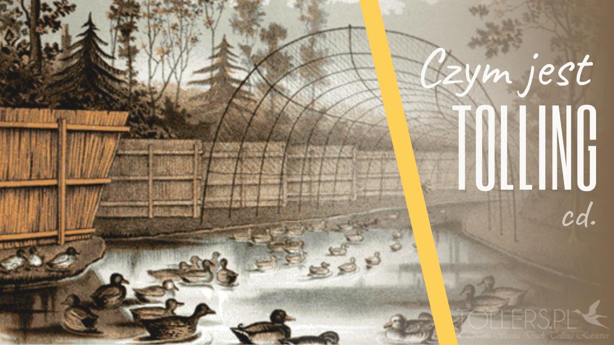 Czym jest duck tolling, czyli wabienie kaczek