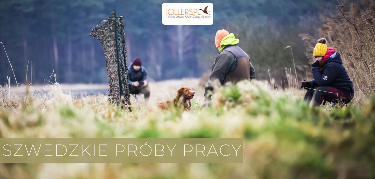 Pies rasy Nova Scotia Duck Tolling Retriever podczas prób pracy myśliwskiej, tzw. tollingjaktprov