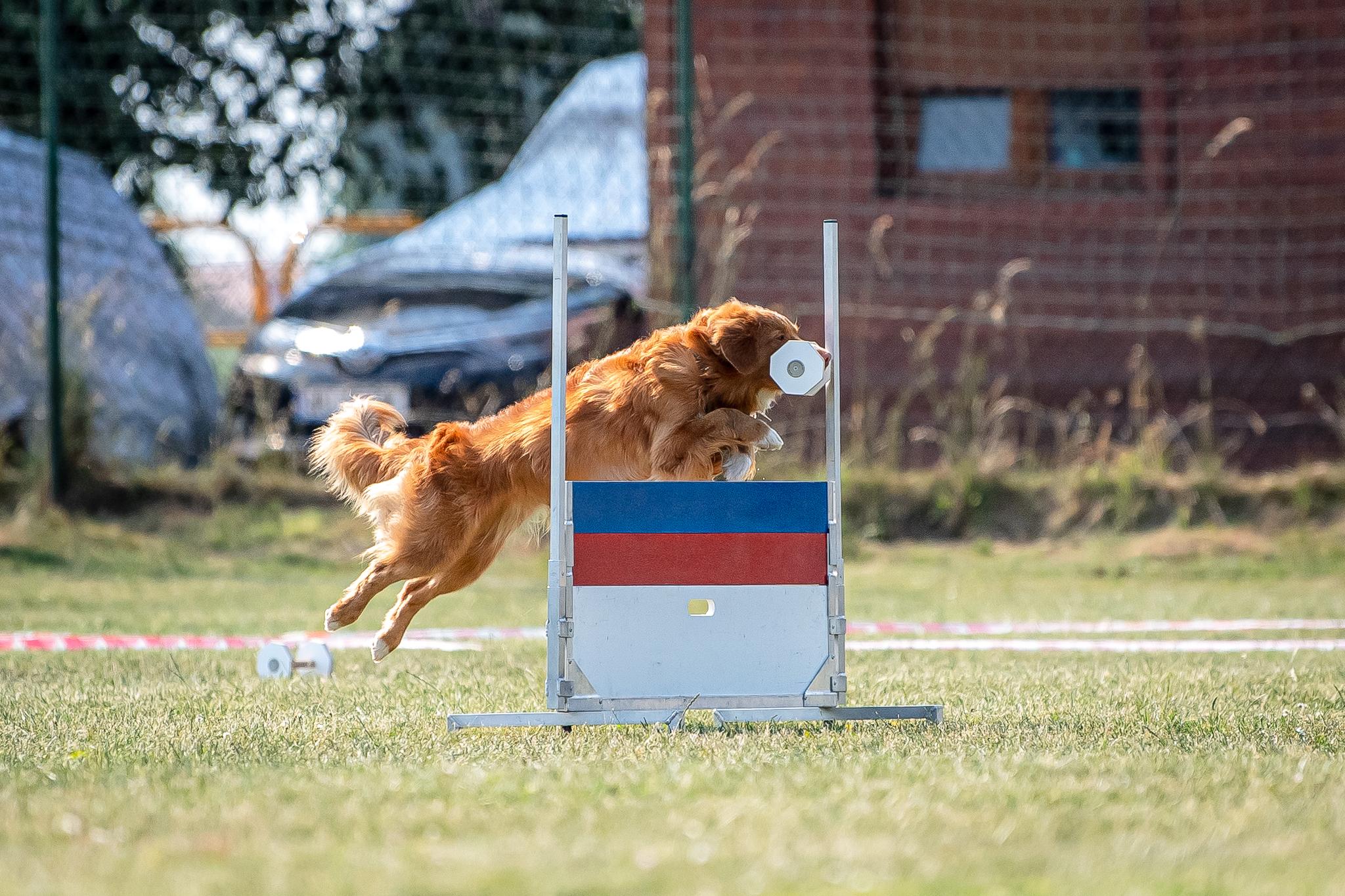 Nova Scotia Duck Tolling Retriever obedience competition